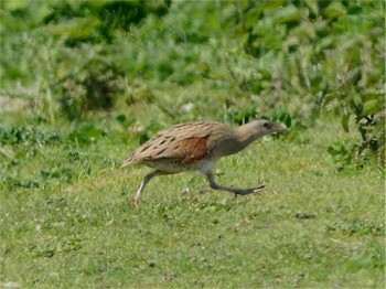 Corncrake on Tory Island, Co. Donegal, Ireland - photo by Richard Smith